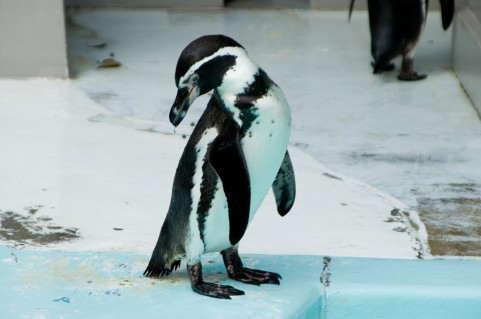 ペンギン 貯蓄なし