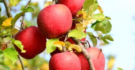 リンゴの木と老後資金